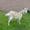 продается коза  #1264700