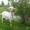 продаеться коза марта #1264699