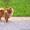 Щенок померанского шпица,  9 месяцев мальчик #1328516