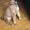 Элитный  породистый  щенок (девочка)   #1353668