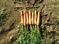 Продам морковь,  свеклу.