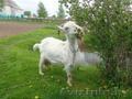 продаеться коза марта